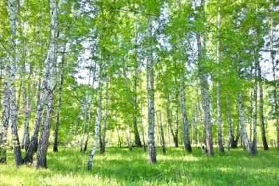 Плакат березовый лес