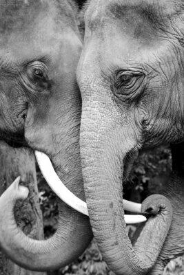 Плакат Черный и белый крупным планом фото двух слонов быть ласковой.