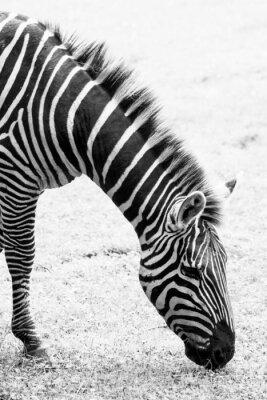 Плакат Черно-белое фото зебры