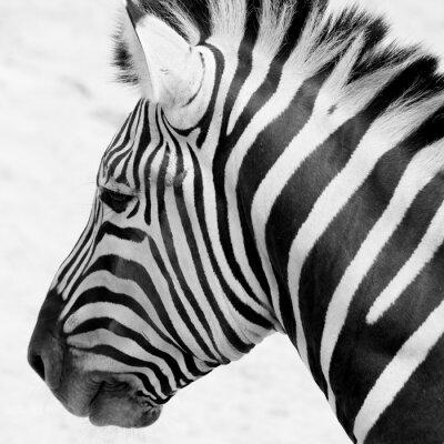 Плакат черно-белые зебры
