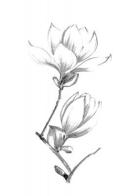 Плакат Black-white illustration with a pencil. White magnolia. Elegant botanical illustration.