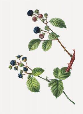 Плакат Blackberry bush
