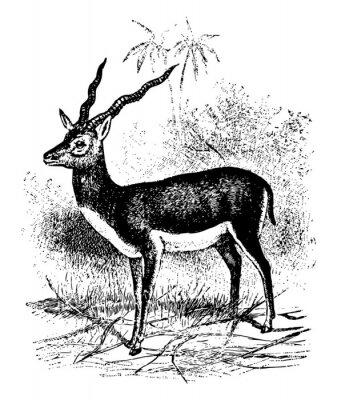 Плакат Blackbuck vintage illustration.
