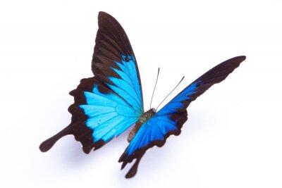 Плакат Синий и красочные бабочки на белом фоне