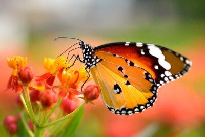 Плакат Бабочка на оранжевый цветок в саду
