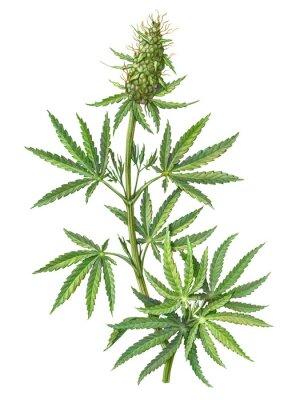 Плакат Cannabis Female Plant Pencil Illustration Isolated on White