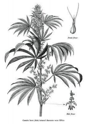 Плакат Cannabis sativa male tree botanical vintage engraving illustration black and white clip art isolated on white background