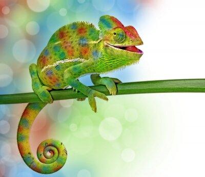Плакат хамелеон и цвета