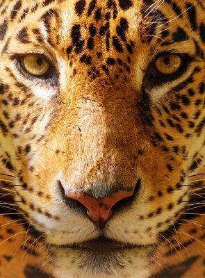 Плакат Крупным планом выстрел из великолепной леопарда