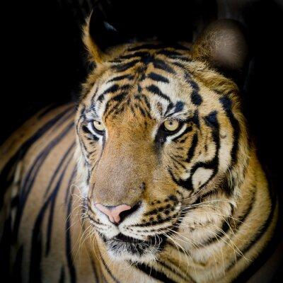 Плакат Close up tiger