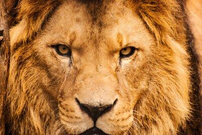 Плакат Крупным планом портрет африканского Льва