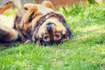 Плакат Собака лежала на спине на траве