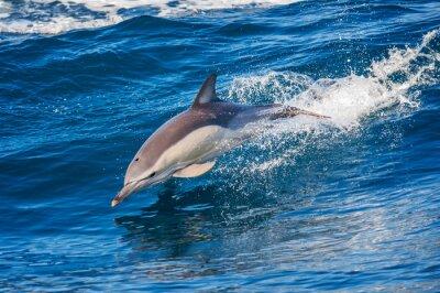 Плакат Дельфин прыгает за пределами моря