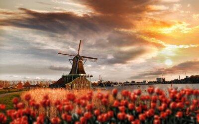 Плакат Голландские ветряные мельницы с красными тюльпанами закрыть Амстердам, Голландия