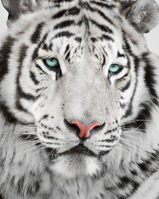 Плакат Элегантный белый тигр портрет