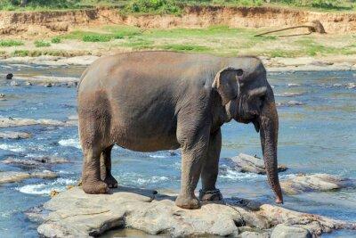 Плакат Слон ванны в реке Шри-Ланки