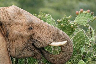 Плакат Слон ест опунции