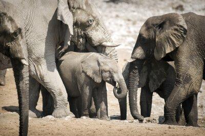 Плакат Слон в Национальный парк Этоша.