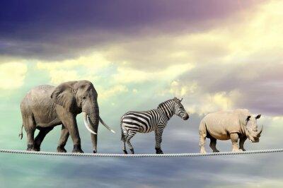 Плакат Слон, зебры, носороги ходьба по канату