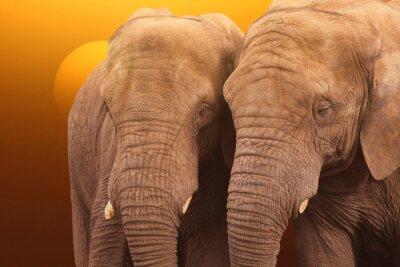 Плакат Elephants sunrise. Pair of Elephants together at sunrise.