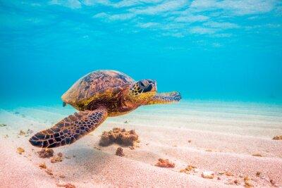 Плакат Находящиеся под угрозой исчезновения Гавайских круизов Зеленый морских черепах в теплых водах Тихого океана на Гавайях