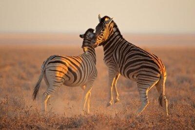 Плакат Борьба равнины зебры, Национальный парк Этоша