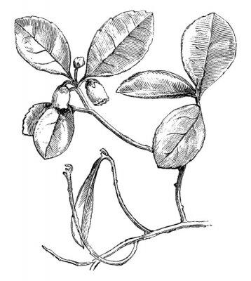 Плакат Flowering Branch of Gaultheria Procumbens (Creeping Wintergreen) vintage illustration.