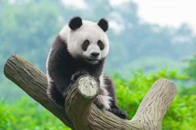 Плакат Гигантская панда медведь восхождение в дереве