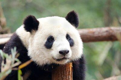 Плакат Панда - Сад, Усталый, скучно смотреть позе. Чэнду, Китай
