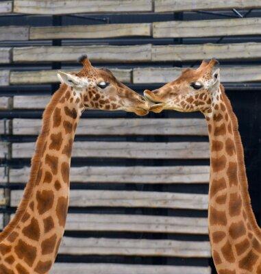 Плакат Girafes, Baiser