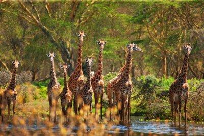 Плакат жираф