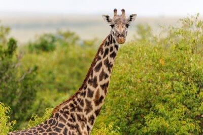 Плакат жирафа