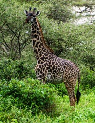 Плакат Жираф среди деревьев акации в Серенгети