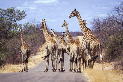 Плакат Жираф в Национальный парк Крюгера