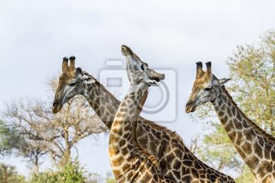 Плакат Жираф в Национальный парк Крюгера, Южная Африка