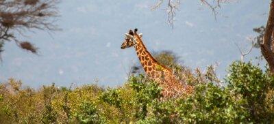 Плакат Жираф в Тсаво Ист Национальный парк