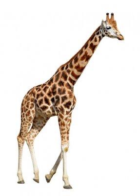 Плакат жираф на белом фоне