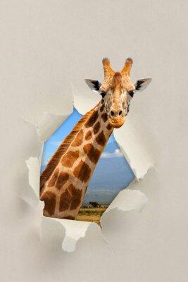 Плакат Жираф глядя через отверстие порвал бумагу
