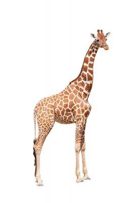 Плакат Жираф до предела. Он изолирован на белом