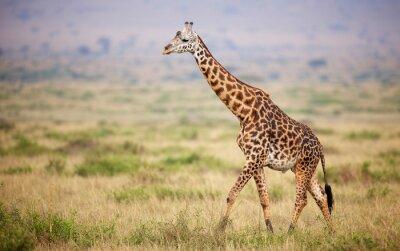 Плакат Giraffe walking in Kenya