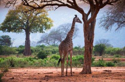 Плакат Жираф с баобаба
