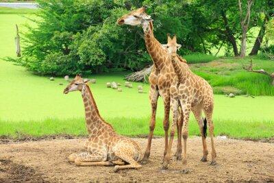 Плакат жирафы