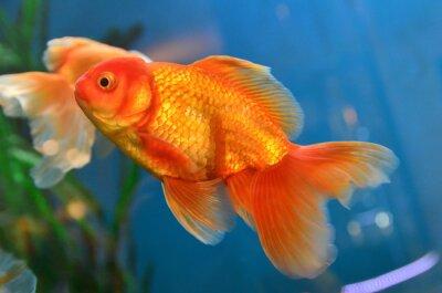 Плакат Золотая рыбка, золотая рыбка под водой
