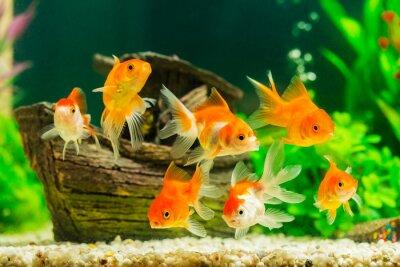 Плакат Goldfish in aquarium with green plants