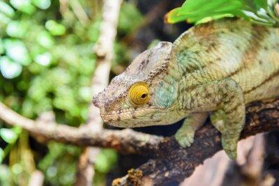 Плакат Зеленый хамелеон ящерица на ветке