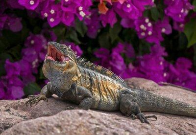 Плакат Зеленая игуана (Iguana игуана) загорает на скале