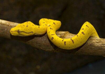 Плакат Green Tree Python - Желтый незрелые -02