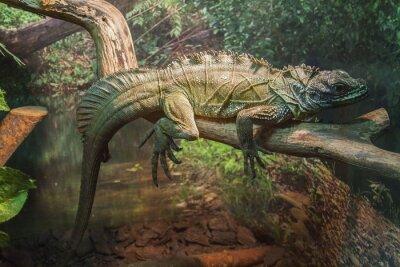 Плакат Серый ящерица в Московском зоопарке