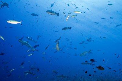 Плакат Серые акулы готовы атаковать под водой