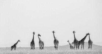 Плакат Группа жирафов в саванне. Кения. Танзания. Восточная Африка. Отличной иллюстрацией.